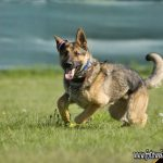 Schutzhund Berlin
